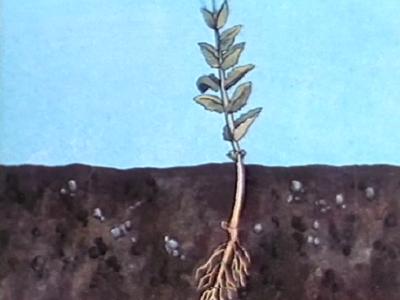 La Vie des plantes à fleurs V : La Germination